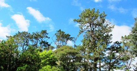 The Monterey pines or Pinus radiata date back to 1870