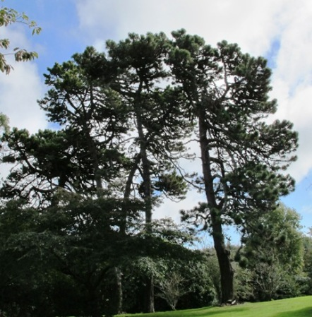 Pinus muricata - handsome trees after 130 years