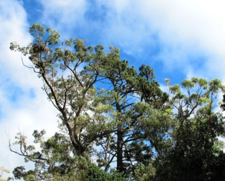 The Australian gum tree at the road entrance is now a very large tree after 130 years
