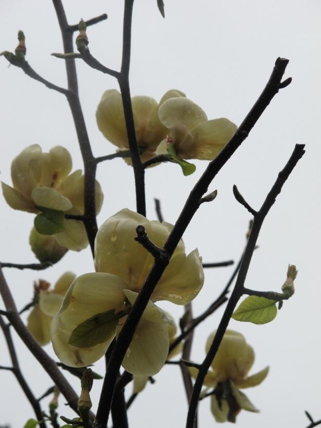 Honey Tulip (2)