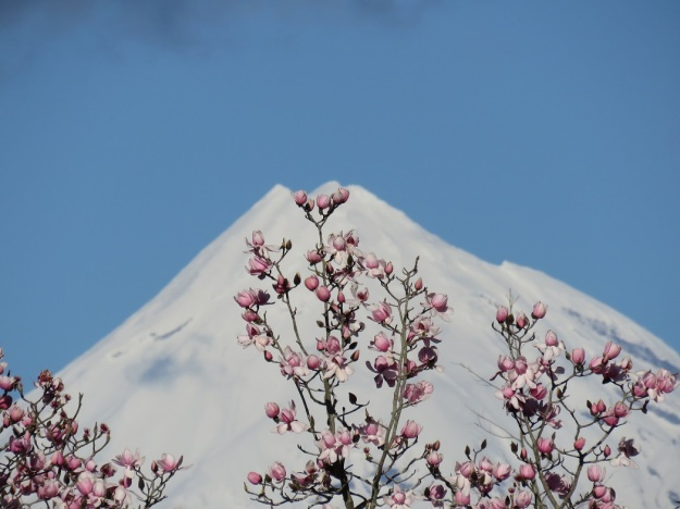 Magnolia campbellii in early August, framed against our maunga - Mount Taranaki - in the distance