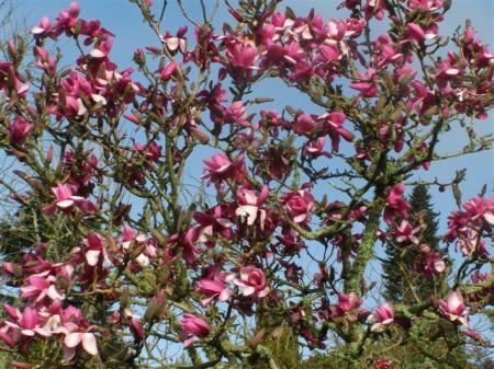 Magnolia Apollo, Felix's best purple