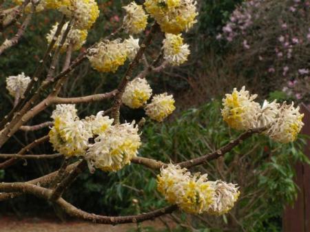 Edgeworthia papyrifera, often called the yellow daphne
