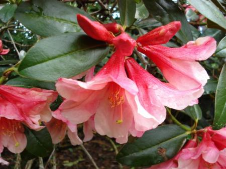 Rhododendron Bernice - arguably one of the best performers Felix named
