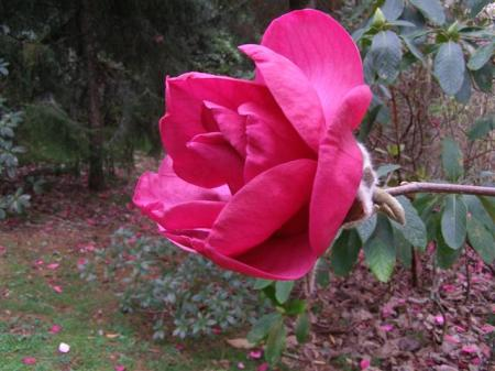 Magnolia Felix has been described as a giant pink cabbage on a stick