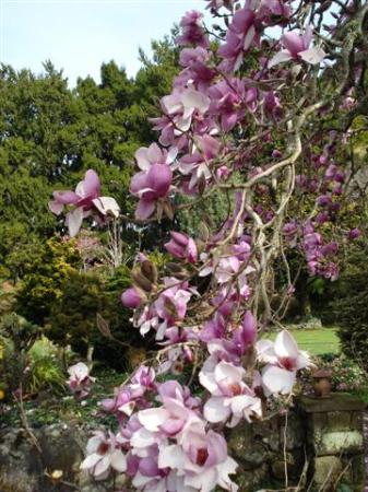 Magnolia Iolanthe after the storm