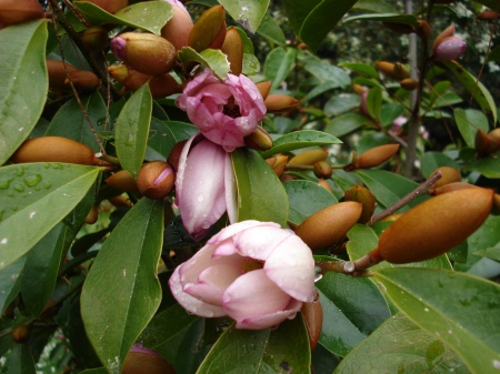 Fairy Magnolia Blush