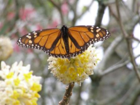 Wintering over in the neighbourhood - the monarch butterfly