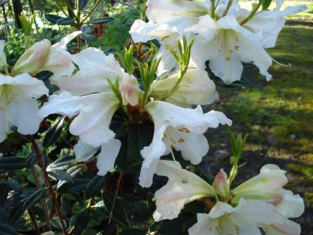 jury rhododendrons tikorangi the jury garden. Black Bedroom Furniture Sets. Home Design Ideas