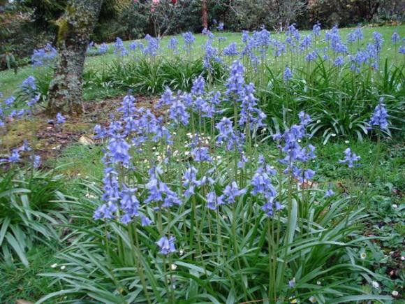 Bluebells (more correctly hyacinthoides, used to be scillas and even endymion)