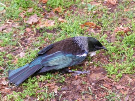 Drunk and in possession of wings - this tui was not a happy camper