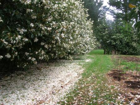 The Snow Flurry series flower on