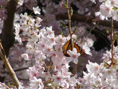 Prunus Awanui feeding the monarch butterflies this week