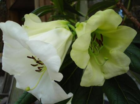Rhododendron Yvonne Scott - bringing startling lime green into the nuttalliis