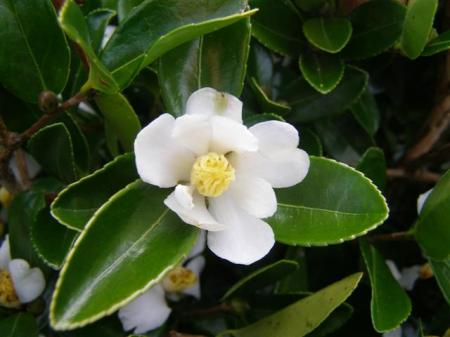 The simple charm of the species, Camellia brevistyla