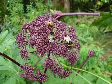 Angelica gigas alive with bumble bees and honey bees, along with a few unwelcome wasps leaving little room for the butterflies who would also enjoy it