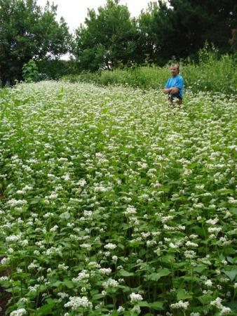 Mark surveys his field of buckwheat, swan plants to the right