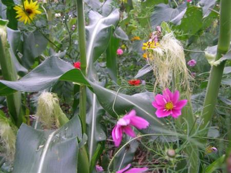 The rows of corn in the garden are interplanted with food for the butterflies here