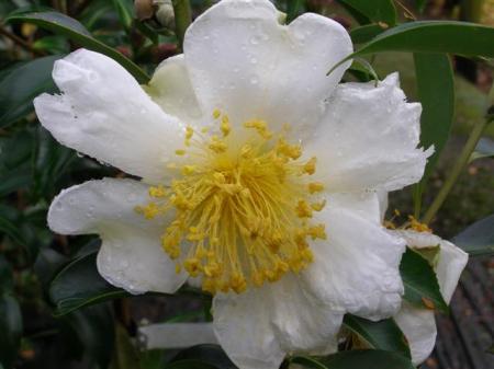 A gordonia not a camellia
