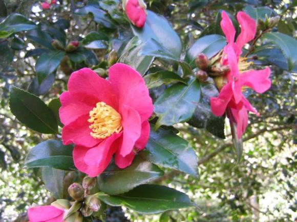 Crimson King - the first of the season's sasanquas to flower