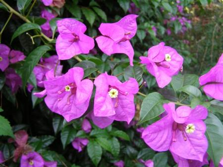 Decidedly rampant, extremely spiny but quite spectacular - the bougainvillea