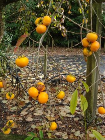 The persimmon in autumn is more about looks than taste, for us at least