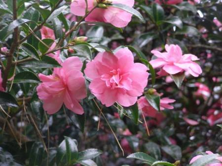 Camellia sasanqua Elfin Rose - a personal favourite