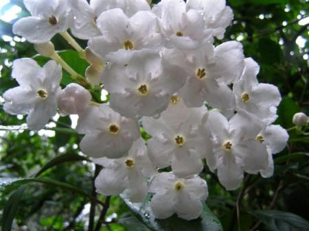 The sweet fragrance of Luculia Fragrant Pearl through autumn and winter