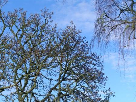 A magnolia to the left and silver birch to the right, silhouetted against the winter sky