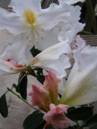 Early, frilly and fragrant - Rhododendron cubittii