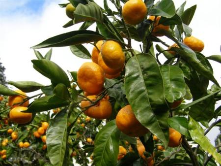 Our citrus trees actually do save us money