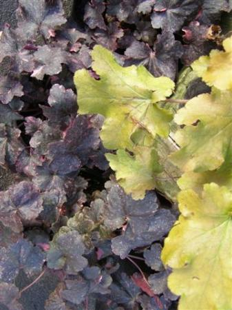 Heucheras - burgundy and lime shades