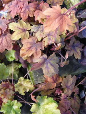 Heucheras in autumn tones