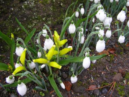 The earliest bulbs are in flower - Lachenalia reflexa midst the snowdrops