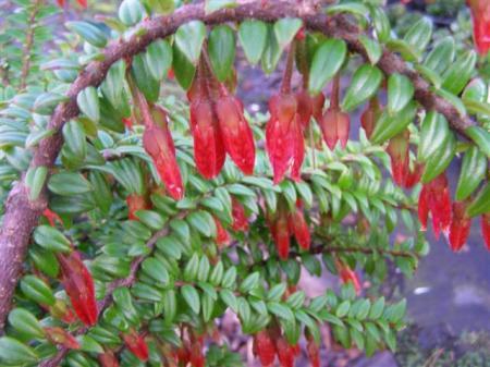 Agapetes serpens - attracts nectar feeding birds in winter