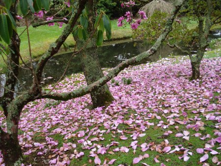 Magnolia Lanarth is the first to drop its petals