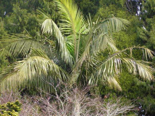 A very handsome palm in the landscape, but scary weed potential