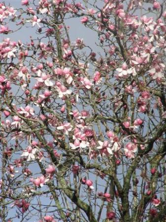 Magnolia campbellii in full flower this week