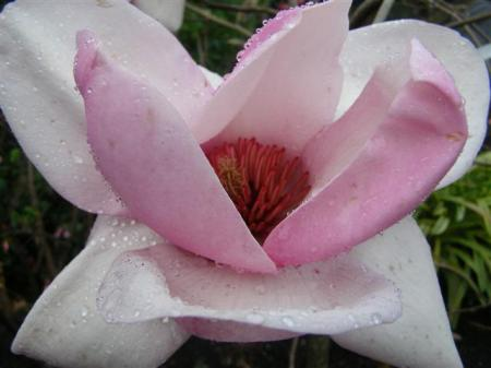 Magnolia Iolanthe is opening her flowers