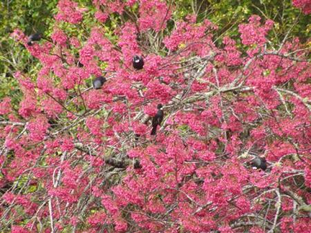 Nectar-feeding tui in a Prunus campanulata