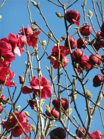 Magnolias Black Tulip and Felix Jury on a blue sky spring morning in Taranaki, Monday August 23, 2010