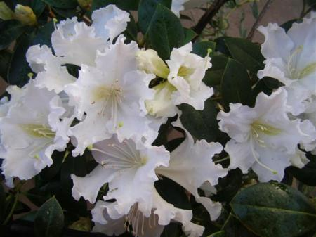 Rhododendron veitchianum - frilly, fragrant and white