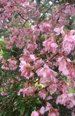 Prunus Pink Clouds - bringing in the tuis