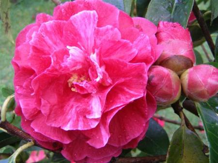 Camellia reticulata Purple Gown - a little optimistic on the colour