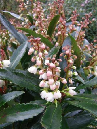 Anopterus glandulosa - a slow growing treasure