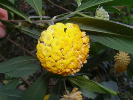 The scented golden orb of Edgeworthia gardneri