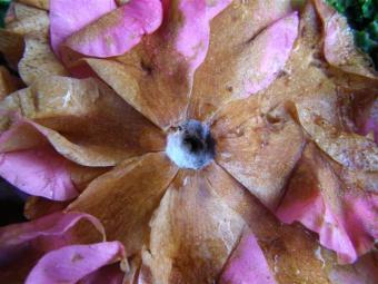 The sad sight of camellia petal blight