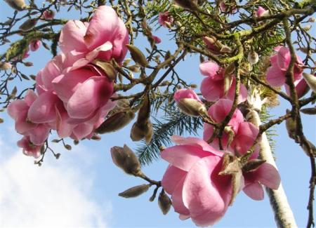 The pink and white blooms of Iolanthe are more to our taste