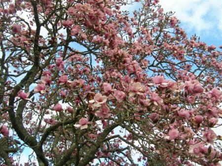 The original Magnolia Iolanthe is a sight to behold in full bloom