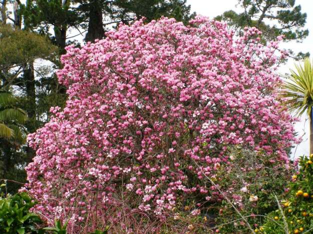The very pink Magnolia Serene in full bloom